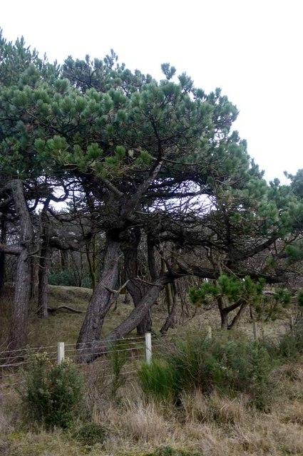 Pine trees near Sandhill House