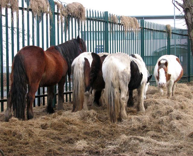 Munching hay
