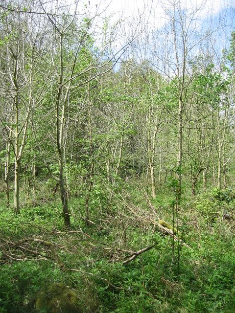 Ash plantation - Micheldever Woods