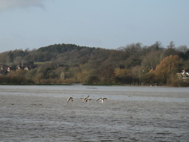 Geese in flight from flood plain