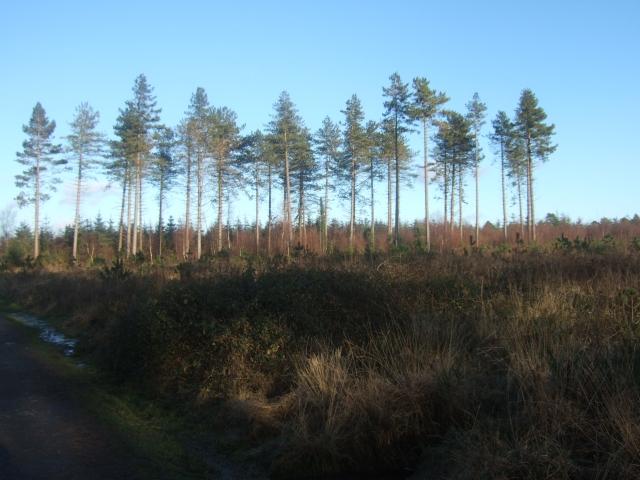 Trees on Haldon