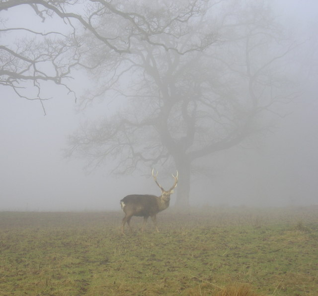 Stag in Fog