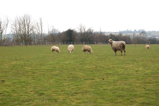 Sheep and a ram at Top Farm