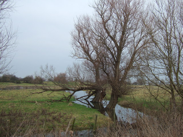 Old willows - The Ouse Washes at Earith