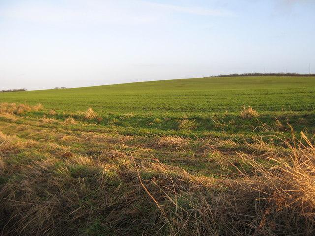 Emerging wheat  Offerton Hall farmlands Sunderland