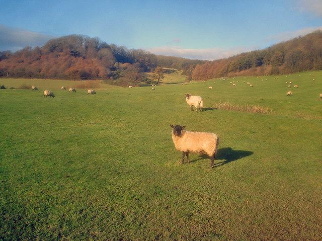 Sheep pasture at Frampton Farm