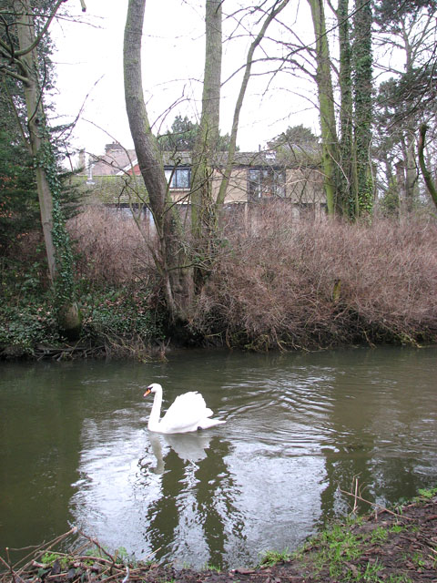 Swan on the River Yare