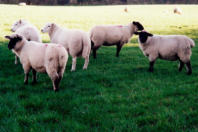 Sheep along A15 northeast of Ballaskeig Beg