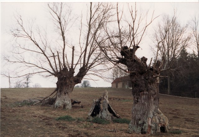 Ancient elm trees