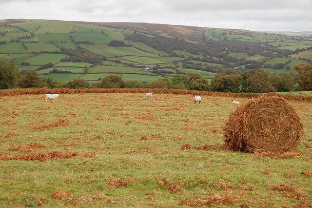 Bracken bale and sheep