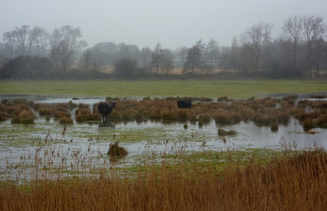 Flooded field with cattle