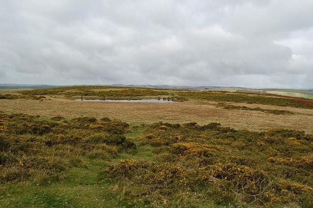 Stunted gorse near Twyn Disgwylfa