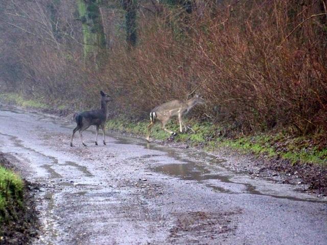 Fallow deer, Garston Wood