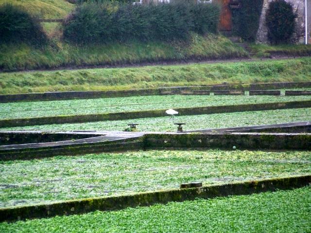 Watercress beds, Broad Chalke