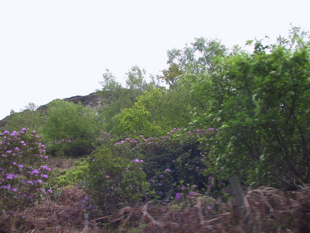 Rhododendrons by the Ravenglass & Eskdale Railway