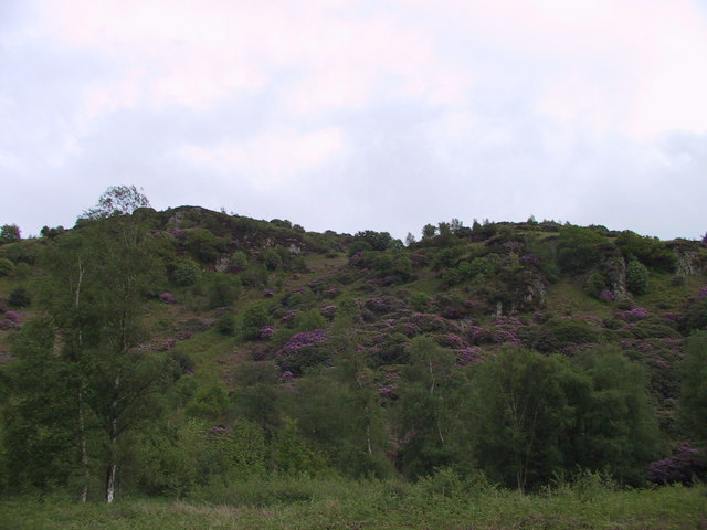 Rhododendrons on the hillside