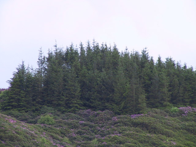 Woodland & Rhododendrons on the side of Muncaster Fell