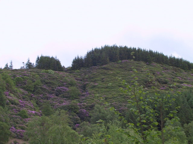 Rhododendrons on the hillside, Muncaster Fell