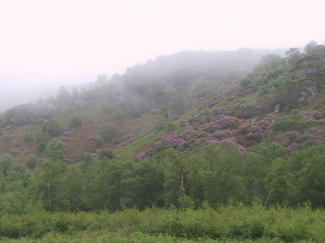 Rhododendrons in the mist, Muncaster Fell