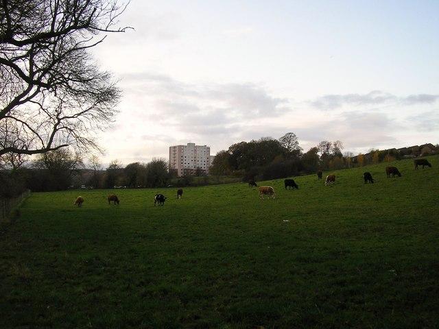 Cows Grazing at Dowley Gap