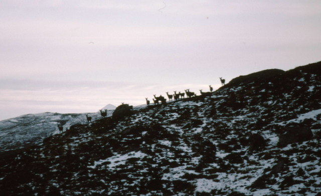 Curious red deer on Leacann Riabhach