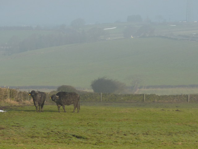 Derbyshire buffalo