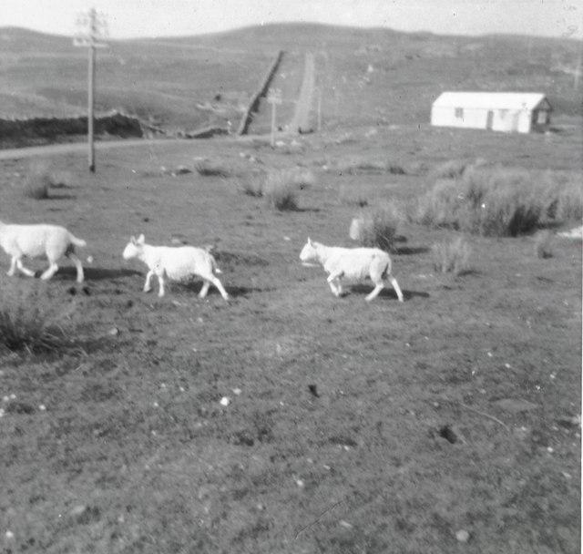 Three sheep and the road to Sheigra, 1967