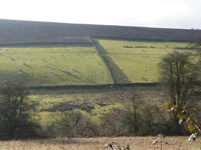 Sheep grazing on edge of  Harewood Moor