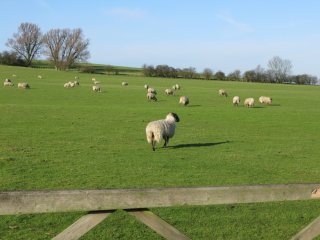 Sheep grazing on the side of Collier's Hill
