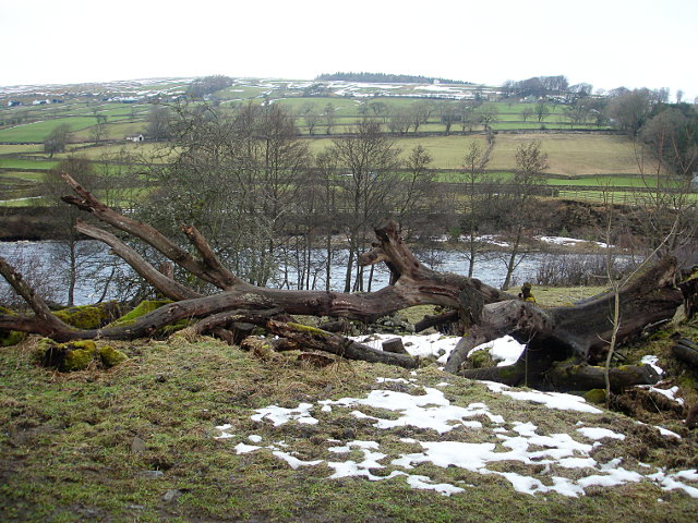 Decaying tree by the Tees
