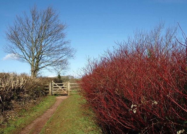 Dogwood near Marldon