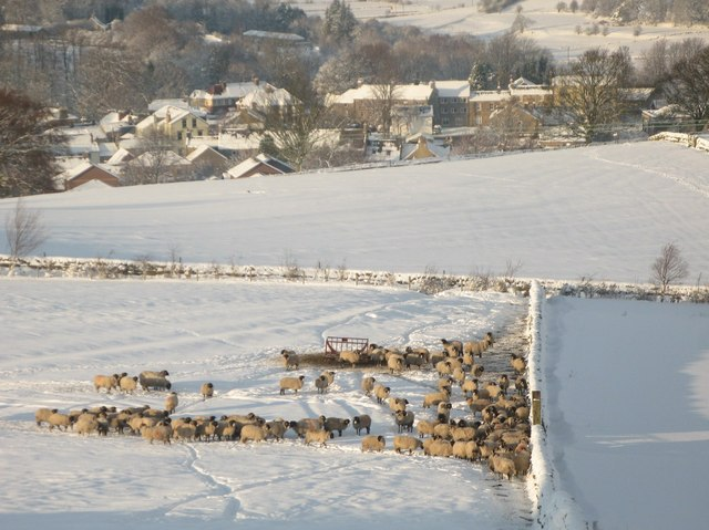 Sheep on snowy pastures in the sun above Allendale Town