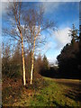 SX0049 : Silver birches in Shepherdshill Wood by Rod Allday