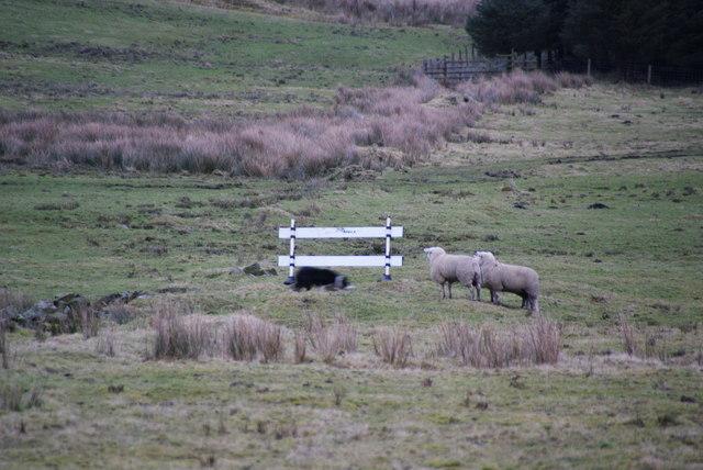 Sheepdog-training