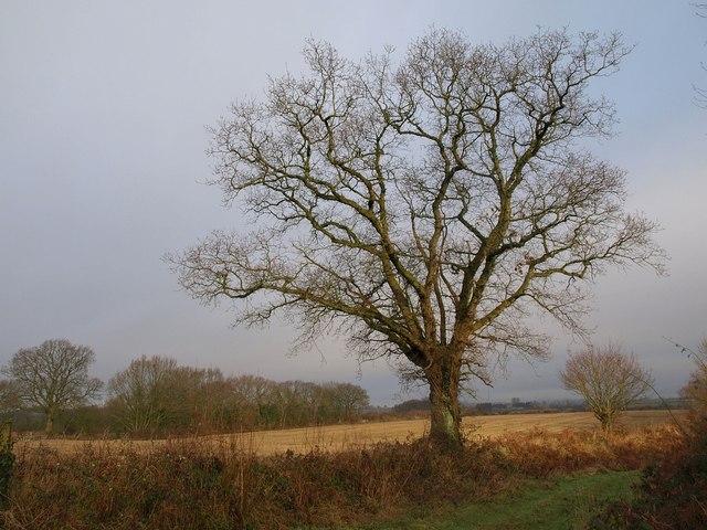 Oak near Weekmoor