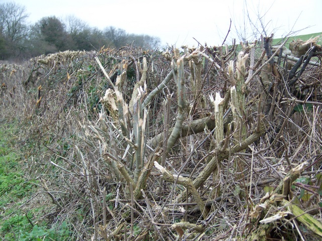 Hedge, Bishopstone