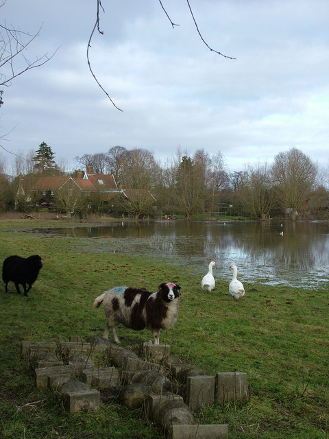 Sheep trapped by the flood, near the river Alde