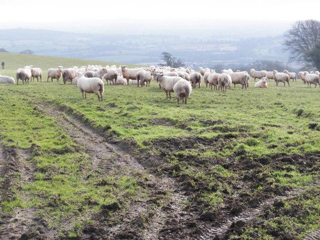 Sheep, on Yarde Downs