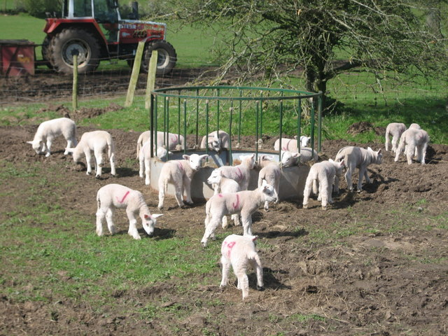 Lamb feeding time