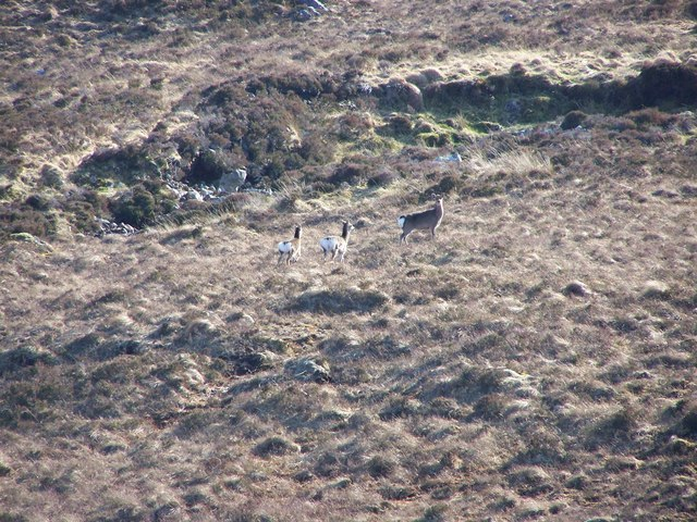 Sika deer on the slopes above the SW side of Loch Shin.