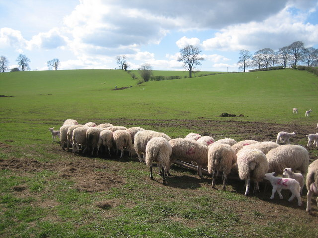 Sheep feeding time in the Eden Valley