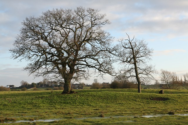 Trees in pasture near Seend