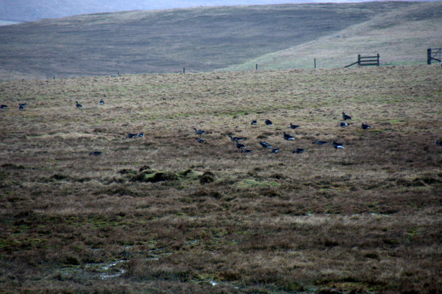 Geese in a mire, Ramnageo