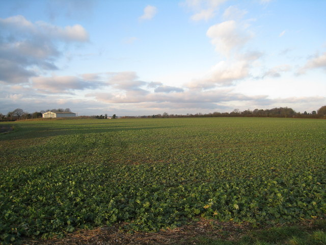 Winter crop east of Cliddesden