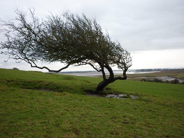 Windswept tree, Point 31m