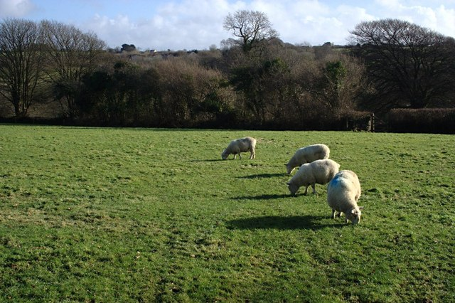 Sheep Grazing on the outskirts of Holsworthy