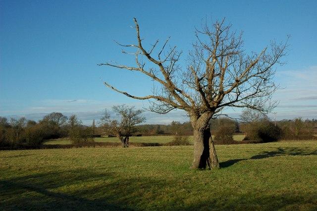 Trees near the Elms, Broadheath