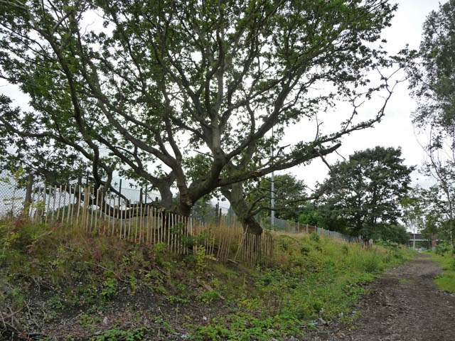 Sessile oaks on railway embankment south east of Chorlton Junction