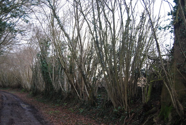 Coppiced trees by the bridleway