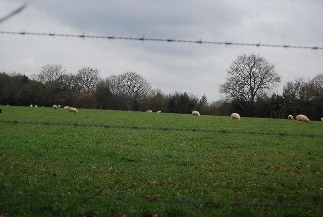 Sheep grazing near Siseley Farm